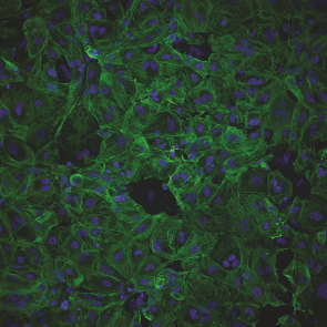 Cytiva Plus Cardiomyocytes 3.5X10⁶ viable cells